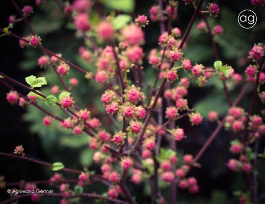 mój pierwszy wpis, projektowanie ogrodów, projekt, ogrody, architektura krajobrazu, architektura, krajobraz, blog, przyroda, rośliny, natura, agnieszka Gertner, architecture, gardens, landscape, design, migdałek, wiosna