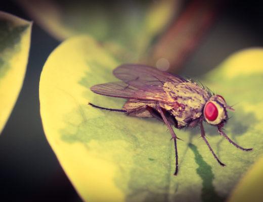 edukacja przyrodnicza, owady, fauna w krajobrazie, Agnieszka Gertner, agnieszkagertnerblog, przystanek ligustr, mucha domowa, entomologia