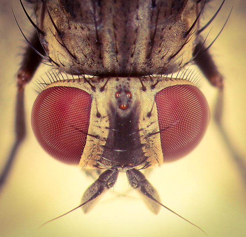 edukacja przyrodnicza, owady, fauna wkrajobrazie, Agnieszka Gertner, agnieszkagertnerblog, przystanek ligustr, mucha domowa, entomologia