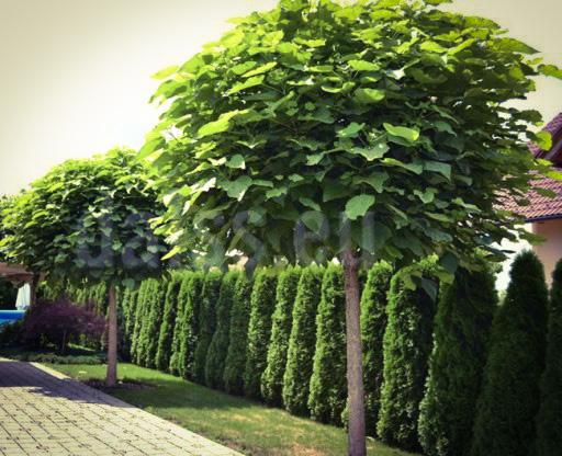 Catalpa bignonioides, między nami drzewami