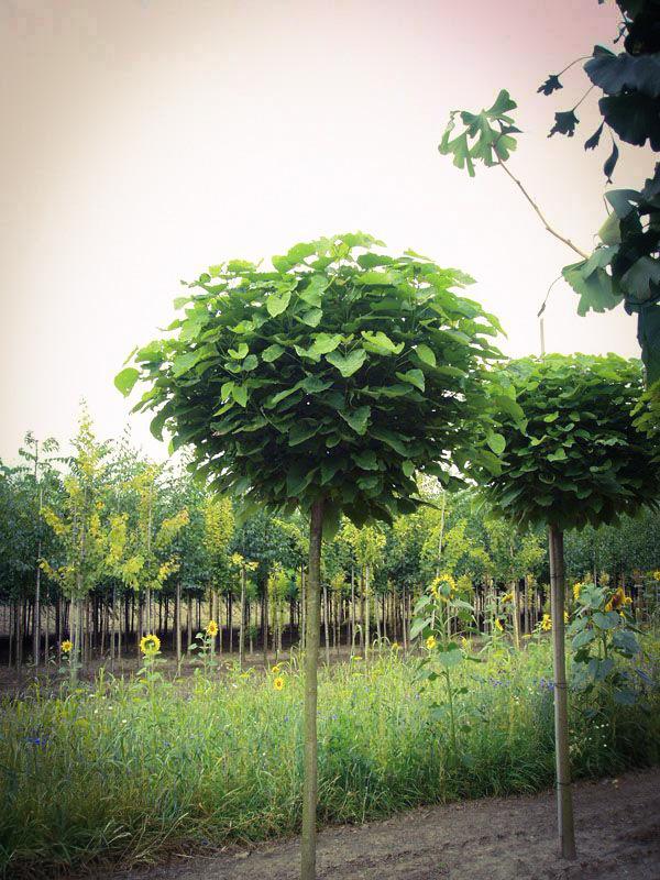 Catalpa bignonioides, między nami drzewami, nana