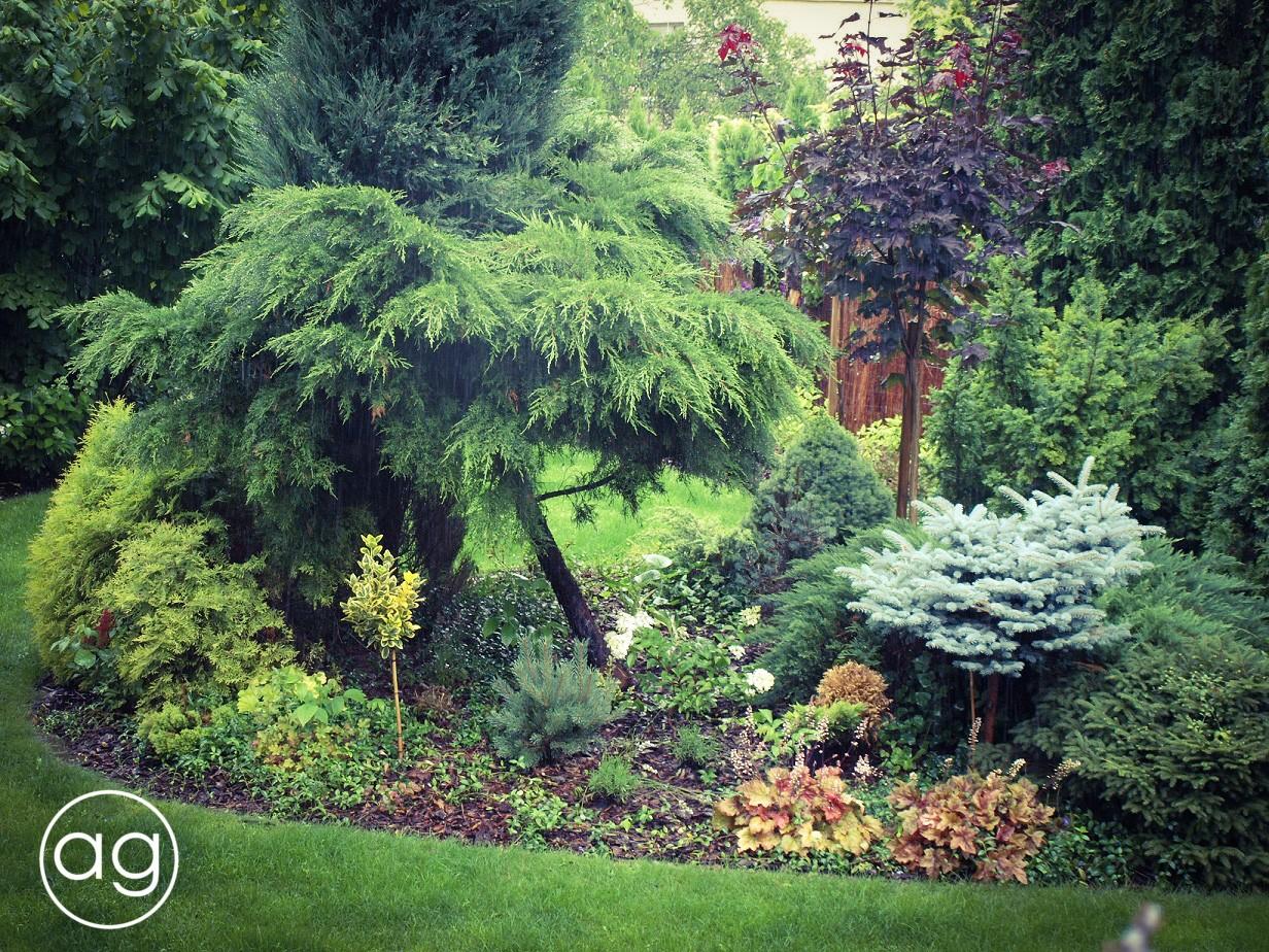 projektowanie ogrodów, choroby iszkodniki, brudnica mniszka, świerk kłujący, picea pungens, larwa, motyle, agnieszkagertnerblog, Agnieszka Gertner