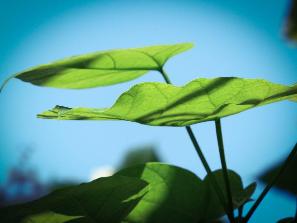 catalpa, między nami drzewami, katalpa, surmia, drzewa, nana